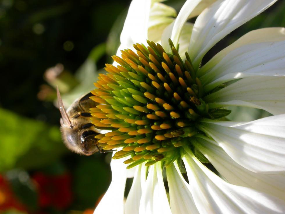Pszczoła może mieć filetowy kolor a niektóre gatunki mieszkają wziemi