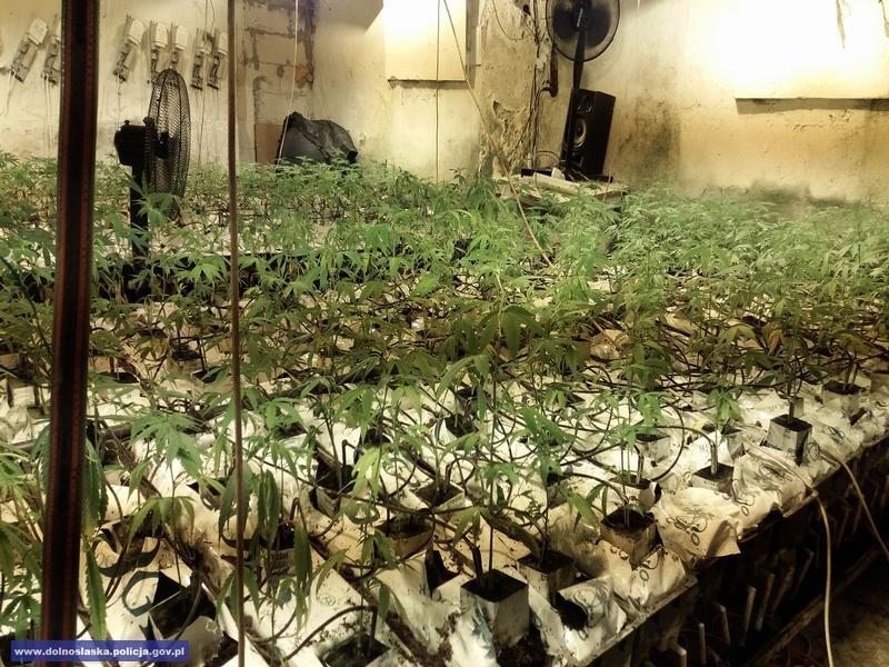 Zlikwidowana ogromna plantacja konopi - 1,7 tys. krzewów