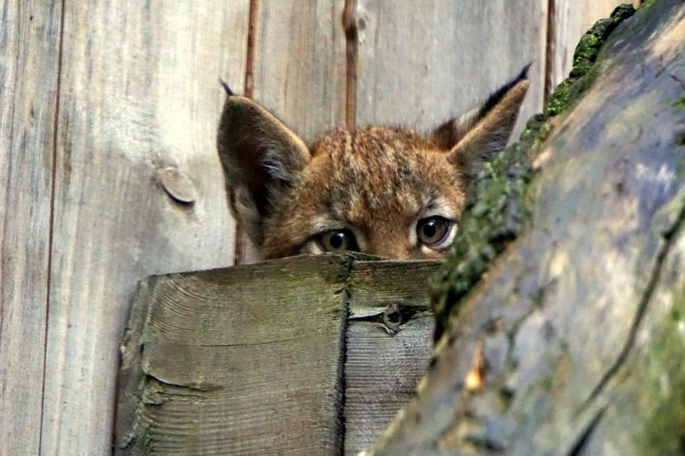 RyśUla – nadzieja dzikiej populacji?